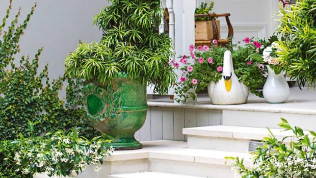French pots on the steps are filled with star jasmine and brown pine (Podocarpus elatus) specimens.
