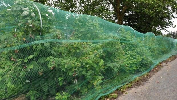 Ripening raspberries protected behind bird netting.