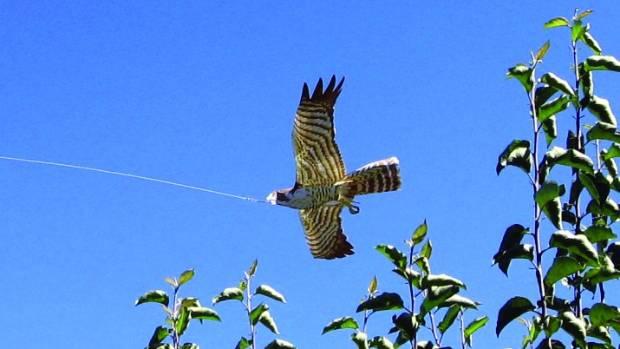 A harrier hawk bird scarer flying over an orchard.