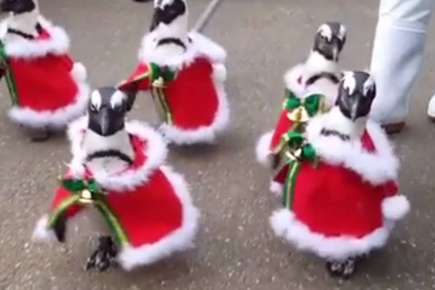 Penguins parade in Christmas outfits in Japanese park | Stuff.co.nz