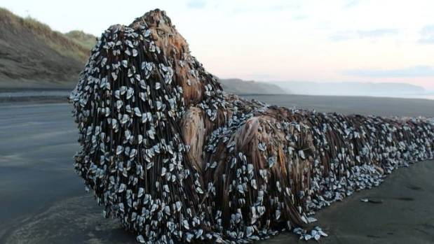 Melissa Doubleday found this barnacle-covered object on a stroll down Muriwai beach.