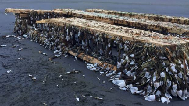 """Pallets on Muriwai Beach with """"gooseneck barnacles""""."""