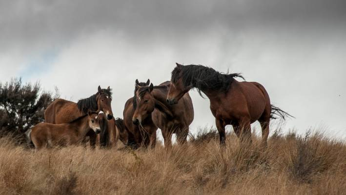 to wear - Horse Kaimanawa pictures video