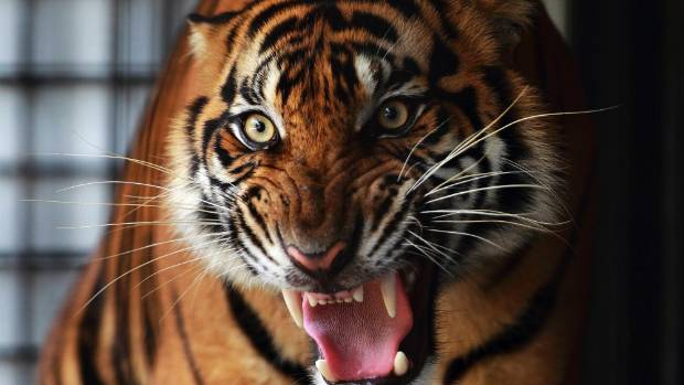 Endangered Sumatran tiger killed in Indonesia