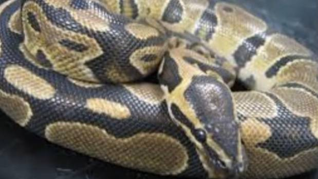 Reticulated pythons like the ones involved in two attacks in Indonesia this year are among the world's longest and strongest.