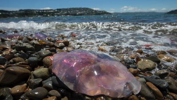 Lion's mane jellyfish, seen here at Evans Bay, have the capacity to deliver a nasty sting.