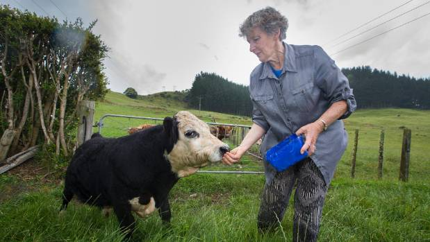 Compared to potentially the world's smallest bull, Charlie of Waitomo, Henry is a behemoth.