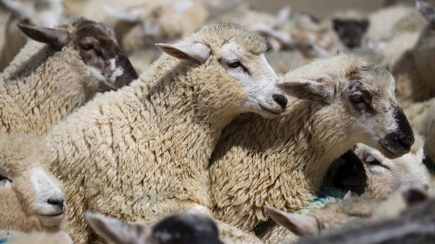 The prime lamb market was back slightly.