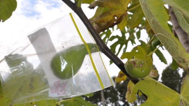 A ziplock bag makes a mini glasshouse to protect a fig while it ripens.