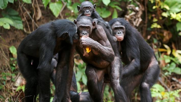 Chimpanzee penis size