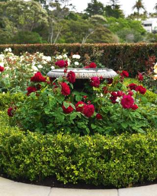 Red LD Braithwaite roses.