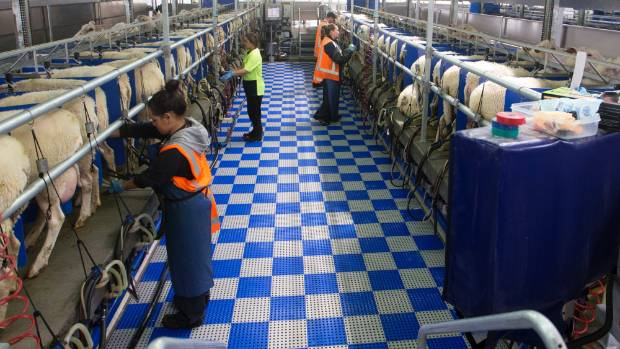 Sheep milking is part of Landcorp's greater plan to stay relevant.