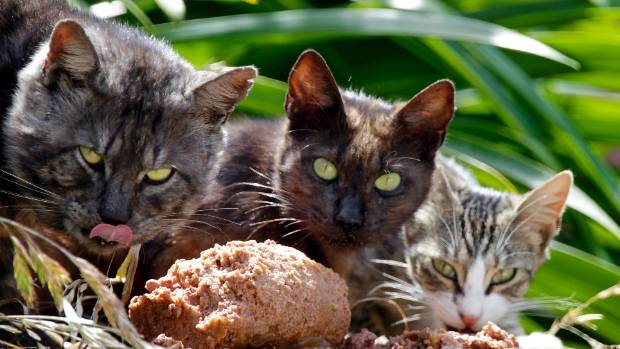 Three wild or feral cats attacked a Taupo woman and her dog while they were out walking. These are not the cats.