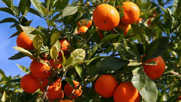 Mandarin and other citrus trees are popular choices for shared spaces and community gardens.
