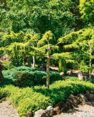 David jokingly calls this area 'Conifer corner'. The rocks hanging in the trees are encouraging the branches to grow ...