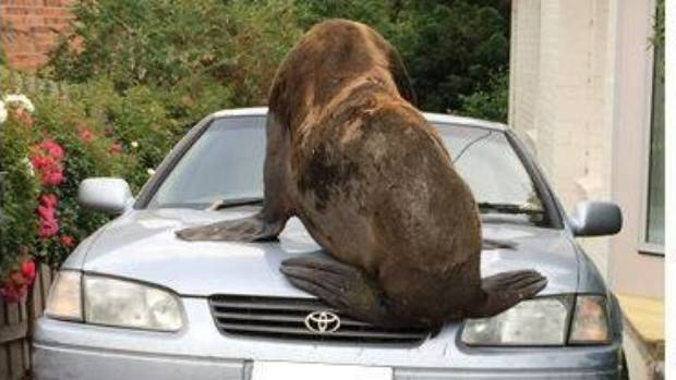 Seal smashes cars in Australian neighborhood