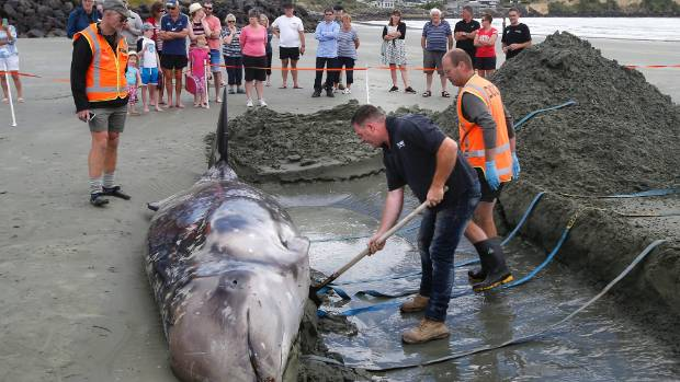 Department of Conservation workers attempt to move a Gray's Beaked whale that washed up on Caroline Bay in December.