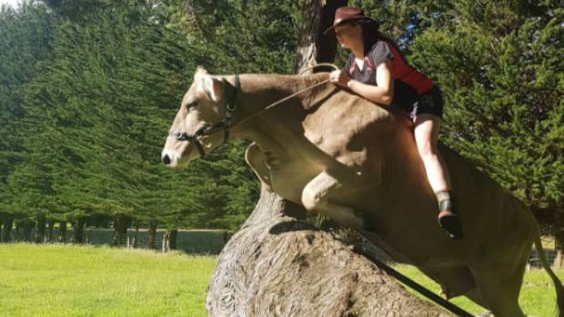 Girl denied horse, trains a dairy cow to showjump instead