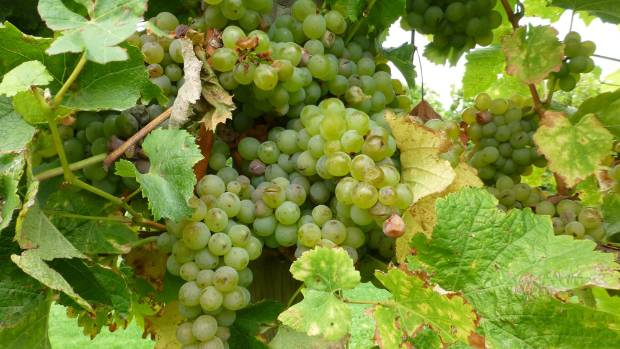 The New Zealand export wine business may be a one-trick pony, but there appears to be no let up in the popularity of ...