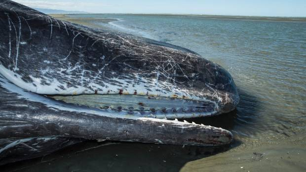 The mouth of a dead sperm whale shows bleeding as it lay beached on Rabbit Island Beach.