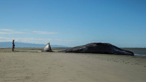 A dead sperm whale beached on Rabbit Island in the Nelson area on December 31.