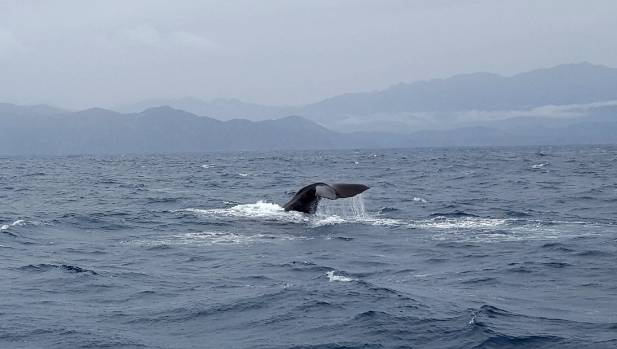 The first whale to be spotted from a whale-watch tour since the November 14 earthquake.