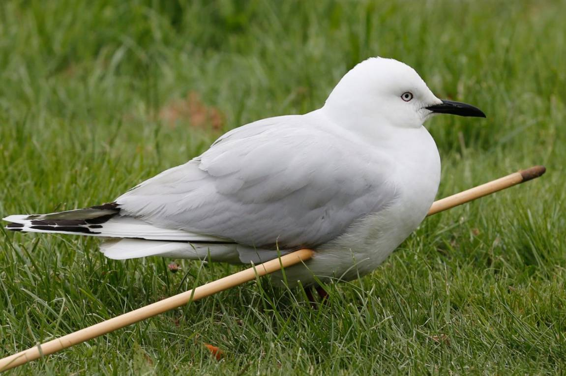 Critically endangered black-billed gull shot with arrow in