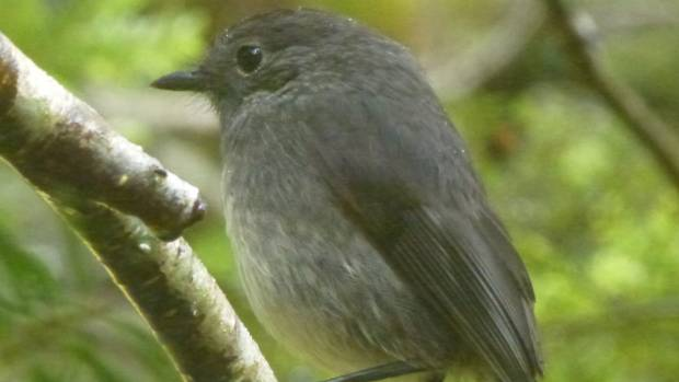 A juvenile male native south island robin at Aspiring Flat.