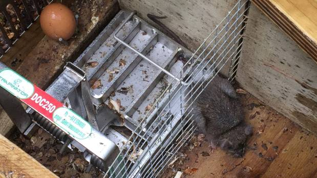 A baby rat is caught in a trap in the Mt Aspiring National Park.