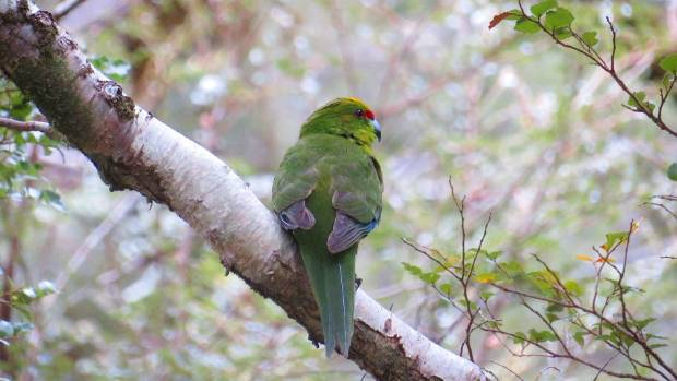 One of the many kakariki that have flocked to Aspiring Hut.