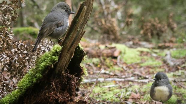 Ground-grubbing South Island robins are thriving at Aspiring Flat.