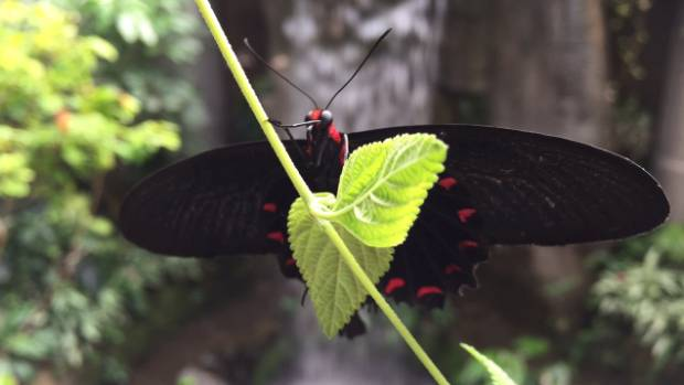 A butterfly at Otago Museum's Tropical Forest.