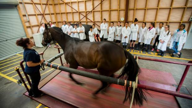 A racehorse is put through its paces on a treadmill in front of pupils visiting Massey University's Veterinary School.