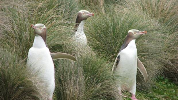 Yellow eyed penguins.