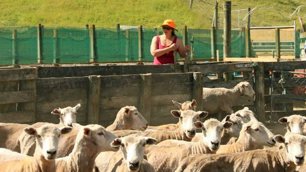 Caroline Smith drafts cull ewes.