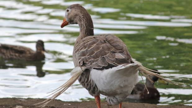 A goose with Angel Wing Syndrome -it stops wings from developing and is caused by poor nutrition.