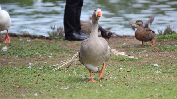 "A goose with ""angel wing"" caused by poor nutrition."