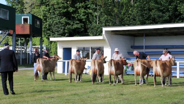 A lineup of bovine beauties await their ribbons during the Taranaki Purebred Jersey Show in Stratford.
