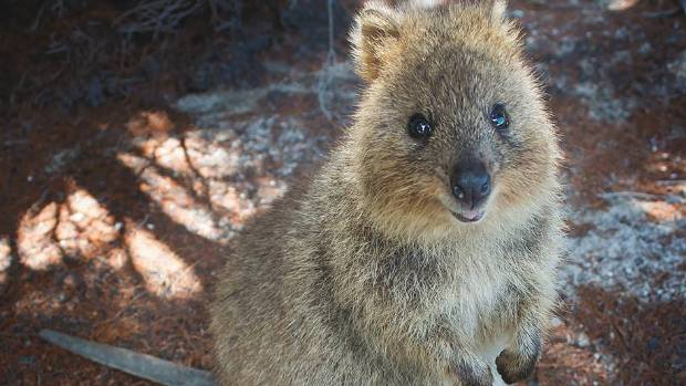 Steve the quokka is on the run. He may use his cuteness to trick unsuspecting humans into giving him food.
