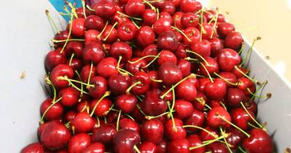 About 465 hectares of new cherry trees will be planted across Central Otago in the next four to five years - a 56 per ...