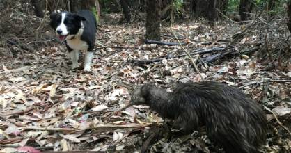 Teaching an old dog new tricks, such as how to avoid endangered kiwi in the bush.
