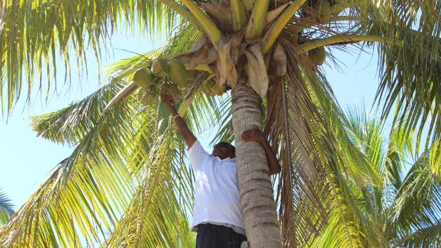 Climbing for coconuts in Fiji.