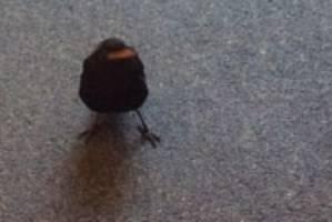 White Tail the blackbird