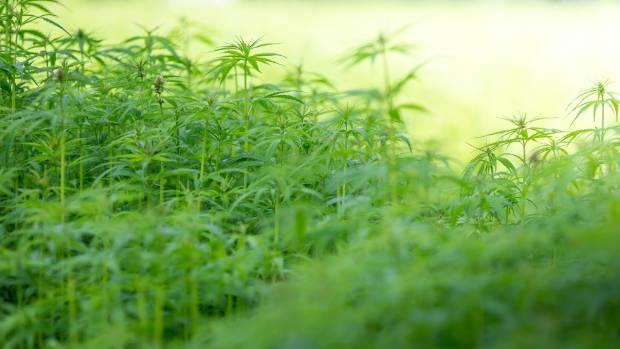 The cannabis plant.