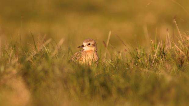 Dotterel's nest on the ground, making them vulnerable to predators.