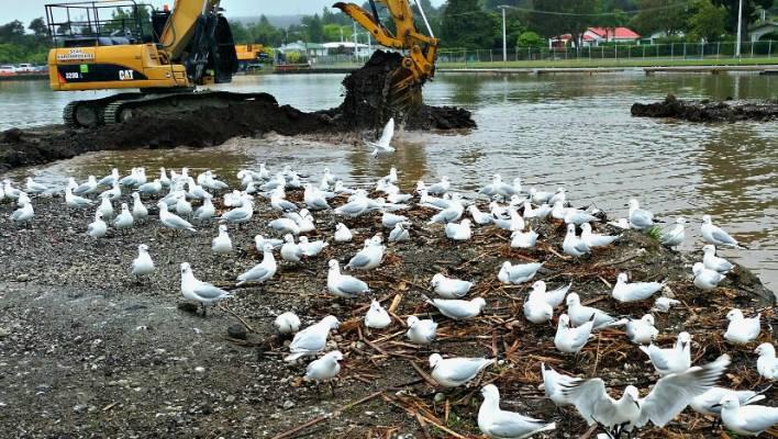 Rare gulls make their mark on marina   Stuff co nz