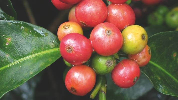 Growing Your Own Coffee Beans In New Zealand It S Not