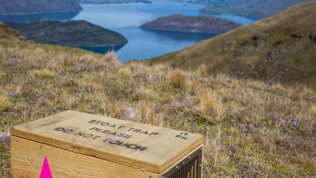 One of the traps we set in the Matukituki Valley.