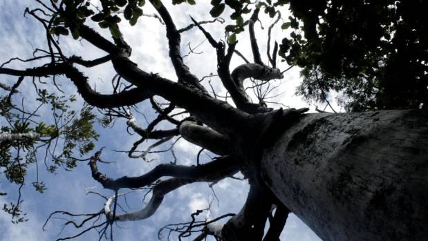 Kauri dieback disease on the Maungaroa Ridge Track in the Waitakere Ranges above Piha.