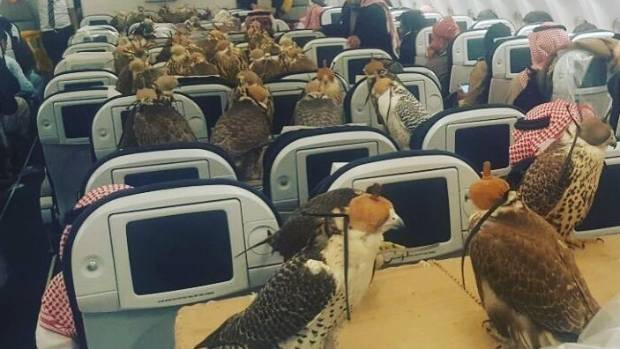 Bringing falcons on airplanes is more common than you think.